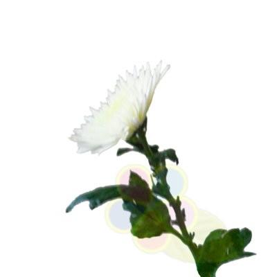 Хризантема анастасия белая