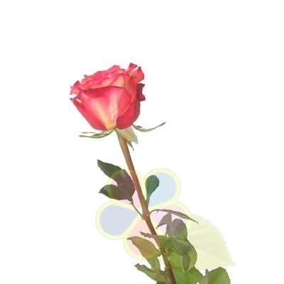 Роза хичоранж