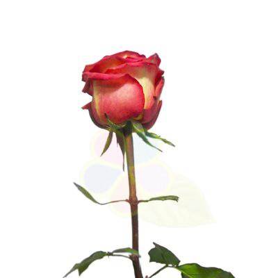 Роза хаймеджик