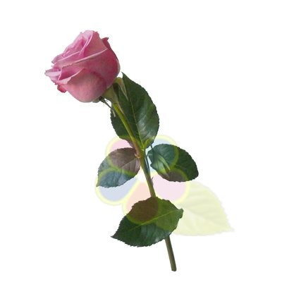 Роза кулвотер
