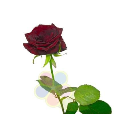 Роза наоми